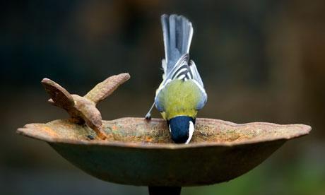 bird, water, summer, drinking, thirsty