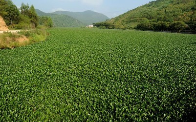 Water Hyacinth - Sewage Treatment Plant